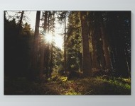 Sun Peaking Through Forest Poster