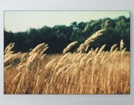 Windy Wheat Field Poster